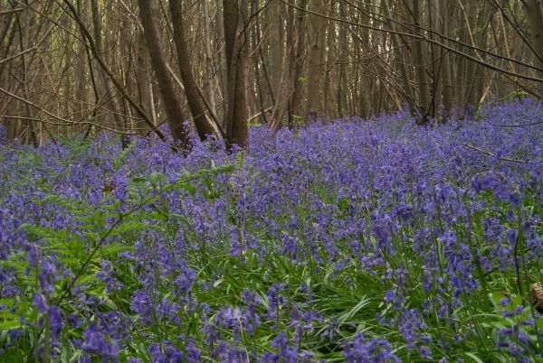 Bluebells in Capel Parish.